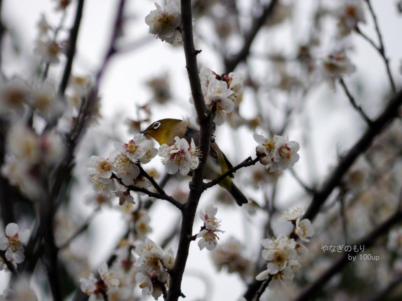 2016年2月21日撮影 梅の花