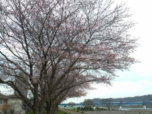 1604sakura01.jpg