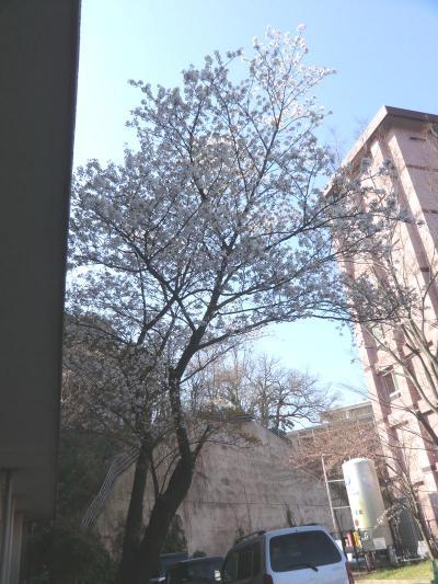 28年春の桜1_20160329091148