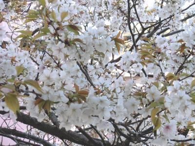 28年春の桜3_20160329091410