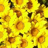 キク(黄色)