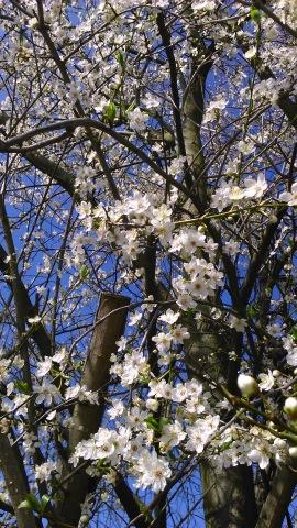 ボウボウの桜