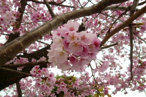 早咲き桜 2016年 3月13日(mt.okuho)