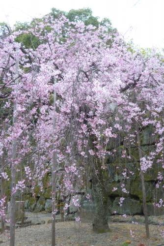 お城 枝垂れ桜 昼 2016 3月29日 (mt.okuho)
