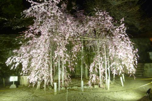 お城 枝垂れ桜 夜 2016 3月29日(mt.okuho)