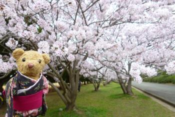 河西公園 桜 (ベァー) 2016 4月3日(mt.okuho)