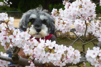 河西公園 桜 (ふわりちゃん) 2016 4月3日(mt.okuho)