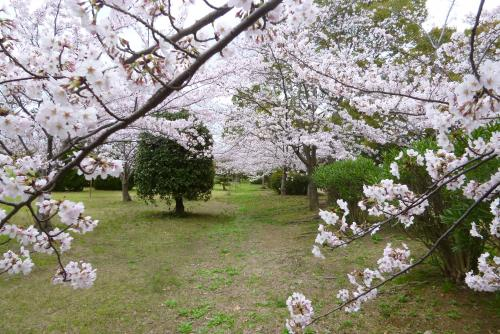 河西公園 桜  2016 4月3日(mt.okuho)