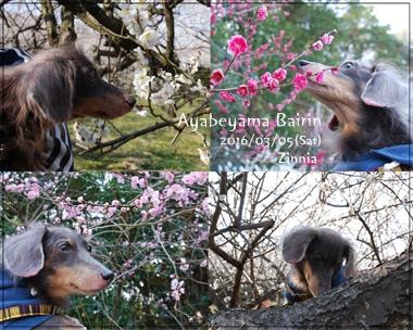 季節の花「梅」を見に⑥
