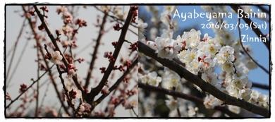 季節の花「梅」を見に⑦
