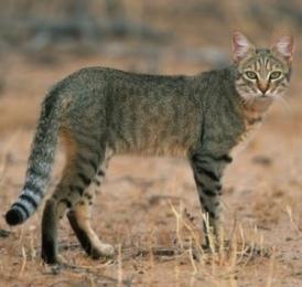 African-wildcat-300x285_201602011021349cb.jpg