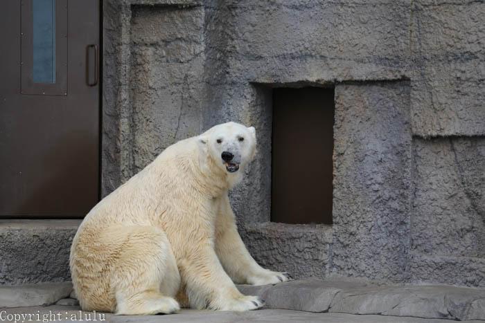 札幌市円山動物園 シロクマ