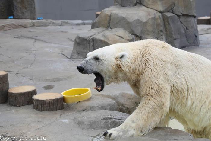 ホッキョクグマ 動物園 写真