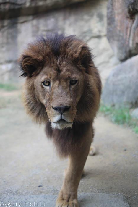 日本平動物園 ライオン 画像