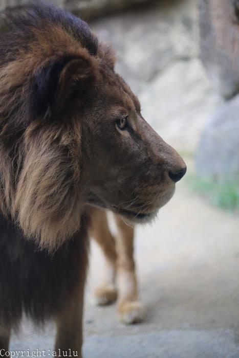 日本平動物園 ライオン