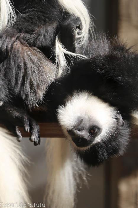 動物園へ 写真 アビシニアコロブス