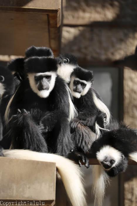 上野動物園 アビシニアコロブス