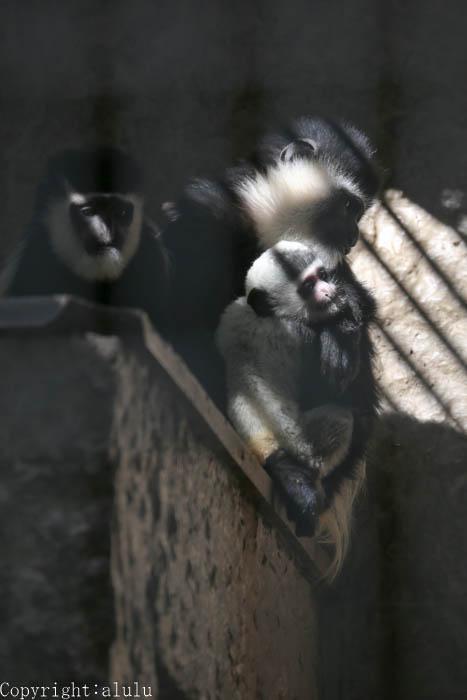上野動物園 サル 白 黒