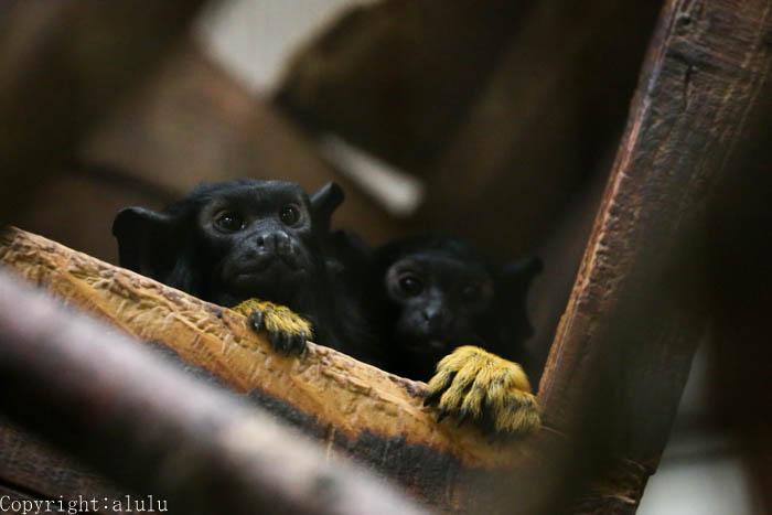 アカテタマリン 動物写真