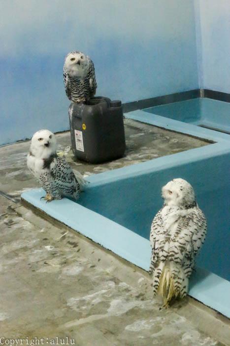 日本平動物園 写真 シロフクロウ