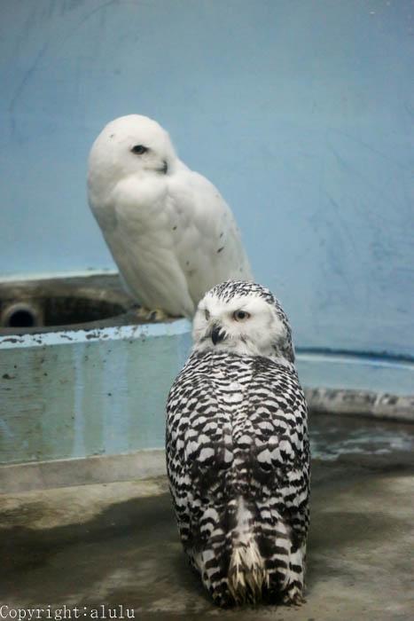 日本平動物園 シロフクロウ