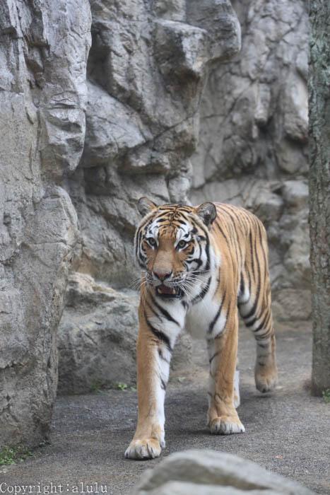 日本平動物園 トラ 写真