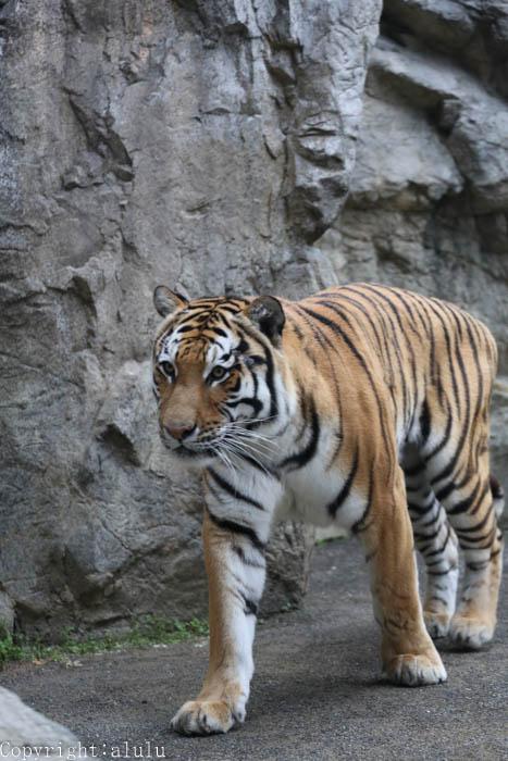 アムールトラ 動物園 写真