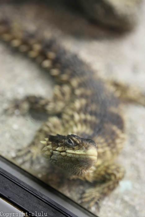 爬虫類 オオヨロイトカゲ