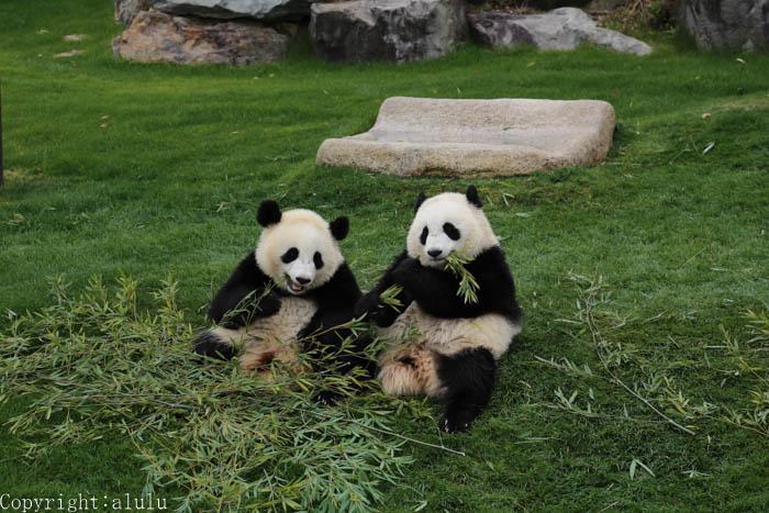 ジャイアントパンダ 双子 赤ちゃん
