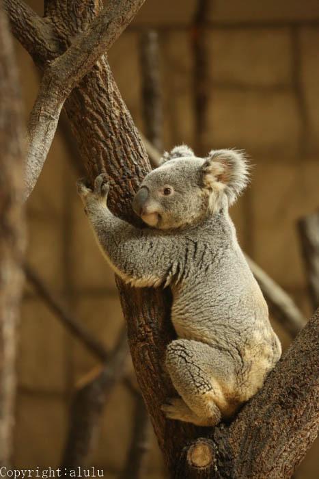動物写真 コアラ
