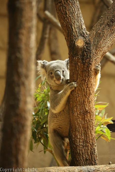 東山動物園 コアラ 写真