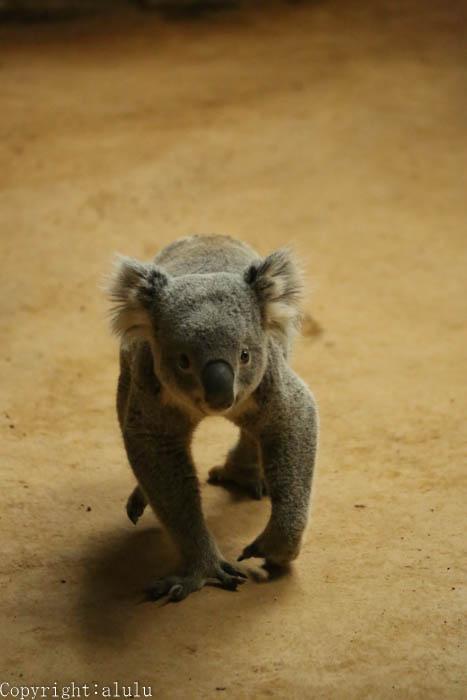 コアラ 東山動物園