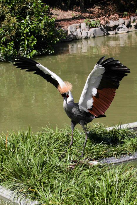 ホオジロカンムリヅル 動物園 写真