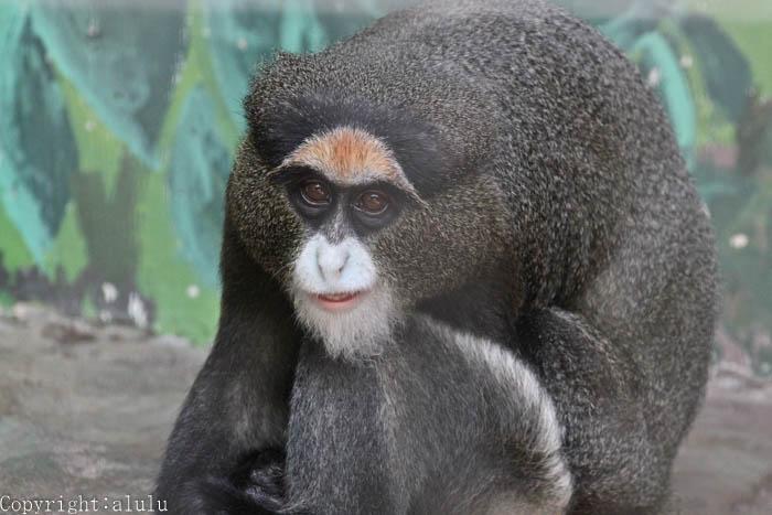 日本平動物園 ブラッザグェノン