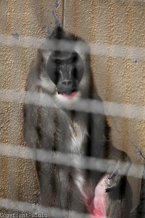 天王寺動物園 サル ドリル