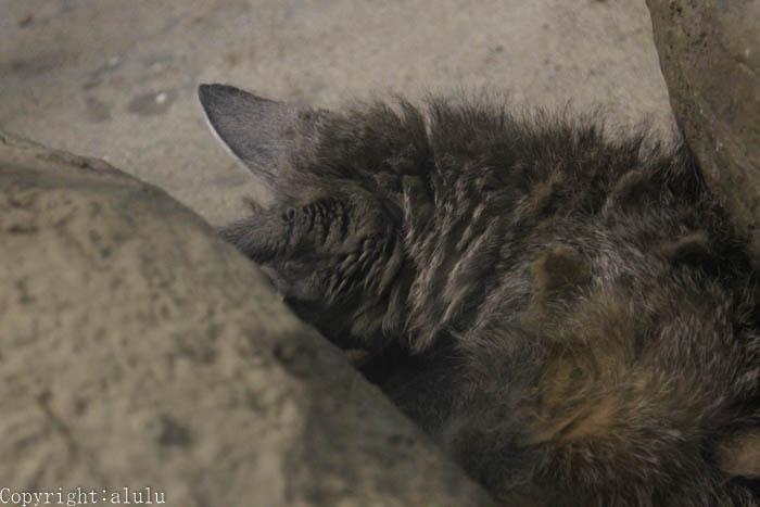 東山動物園でしか オオミミギツネ