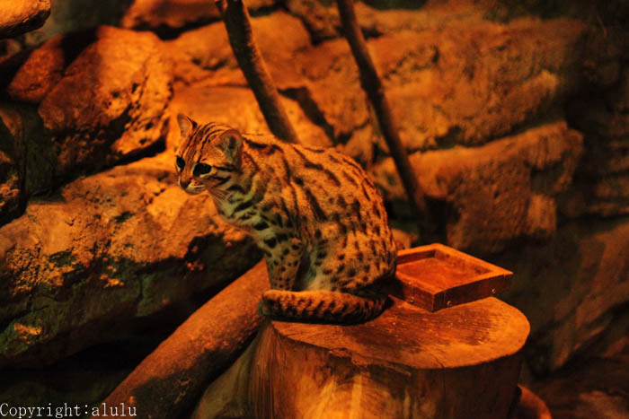 動物園へ ベンガルヤマネコ