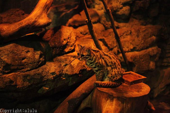 上野動物園 ベンガルヤマネコ