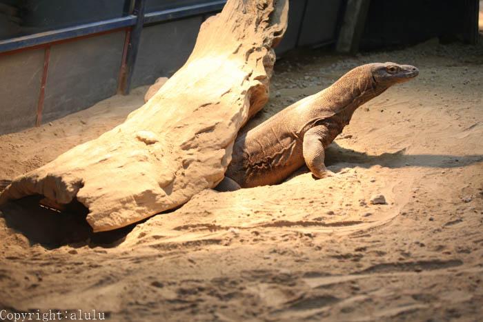 コモドオオトカゲ 動物写真
