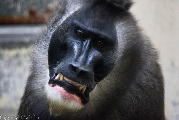 天王寺動物園 ドリル おさるさん
