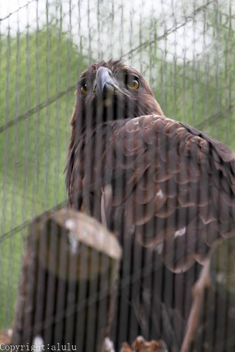 盛岡市動物公園 イヌワシ 画像