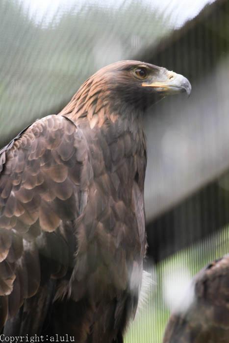 盛岡市動物公園 二ホンイヌワシ