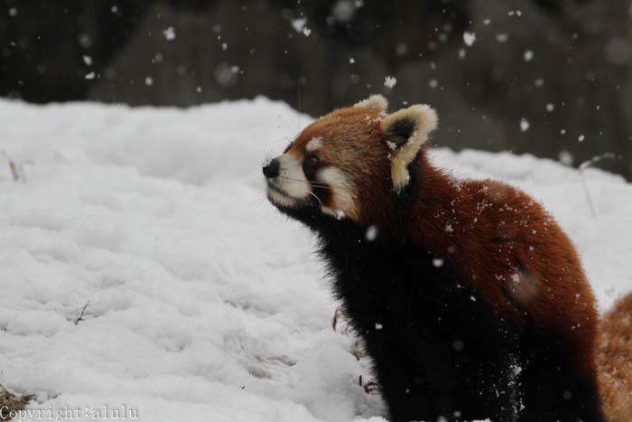 レッサーパンダ 動物園へ 写真
