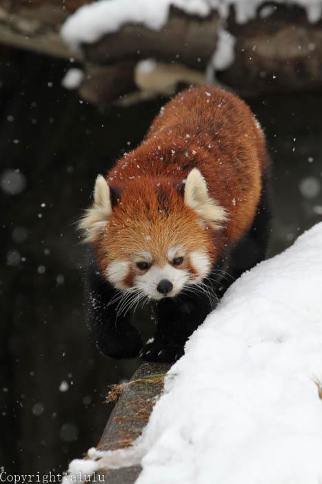動物園 雪 レッサーパンダ