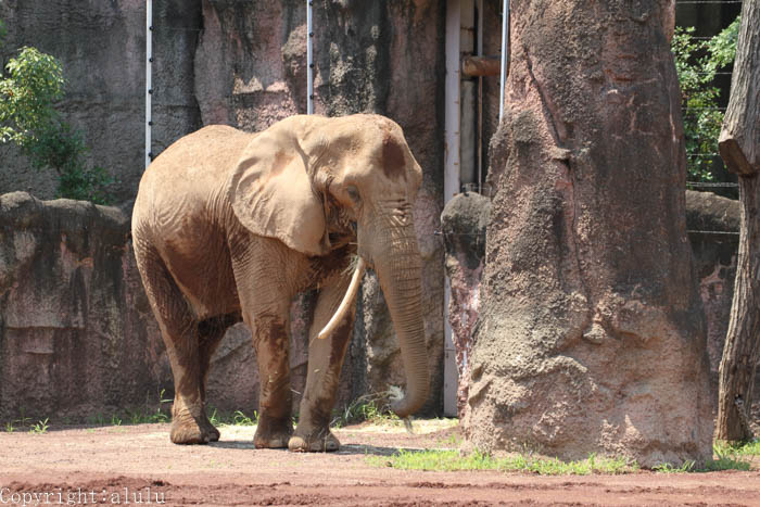 多摩動物公園 アフリカゾウ 画像