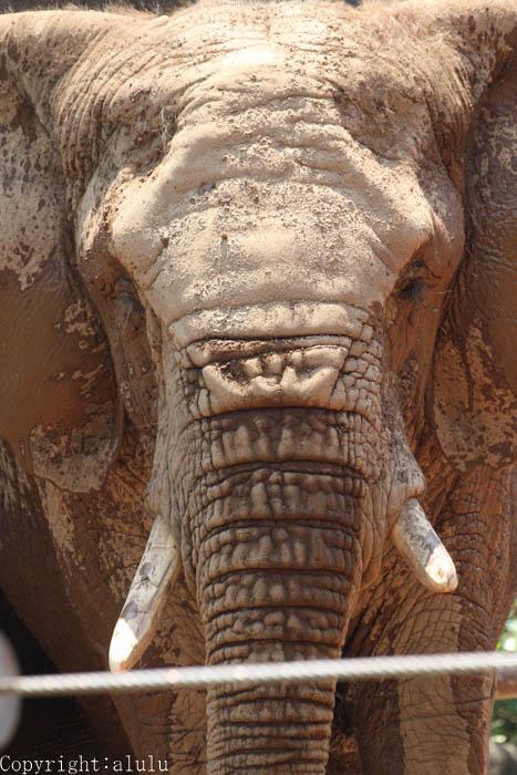 アフリカゾウ 動物写真