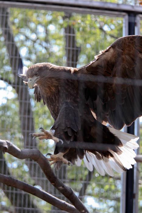 王子動物園 オジロワシ