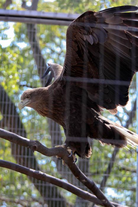 オジロワシ 動物園 写真