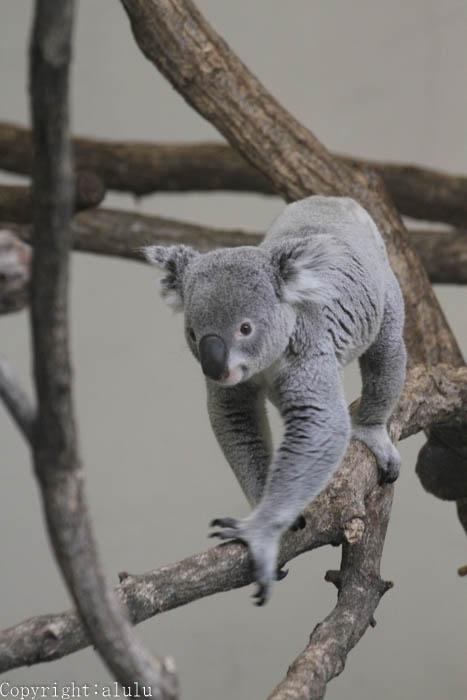 多摩動物公園 コアラ 画像