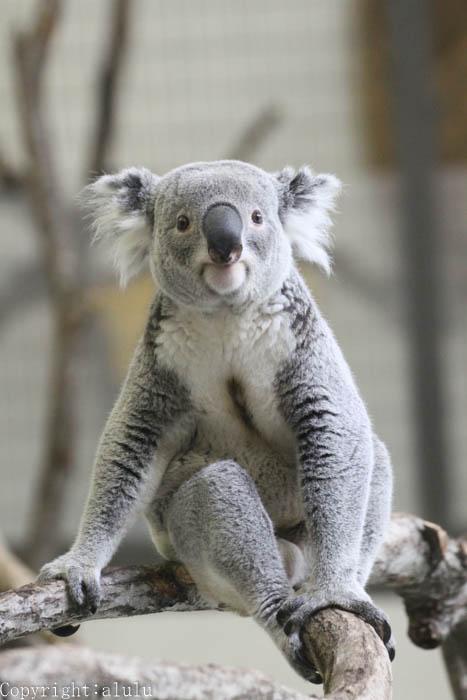 コアラ 動物写真